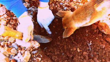 Bucar trufas con perro